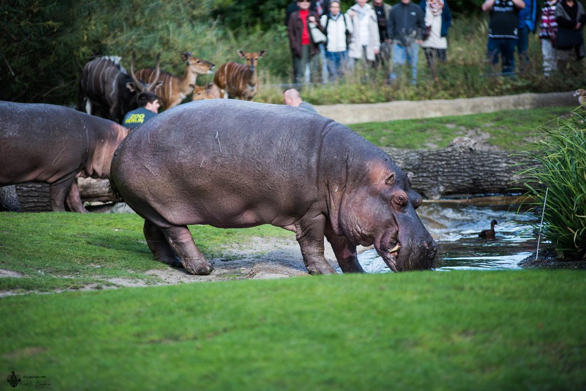 Flusspferd im Berliner Zoo